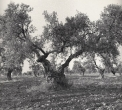 Olive Trees, Sevilla Spain